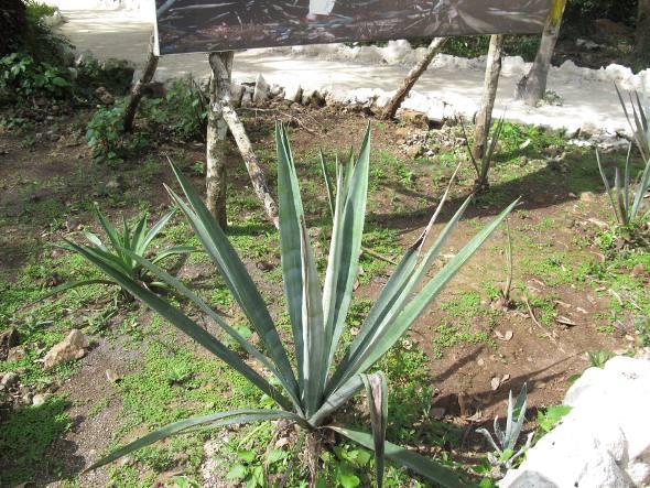 Plantação de agave