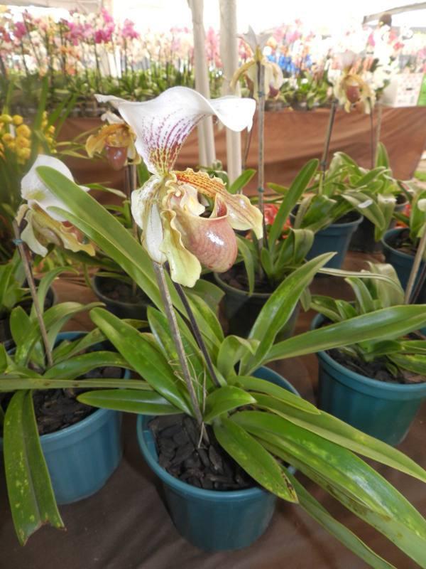Orquídea/Divulgação