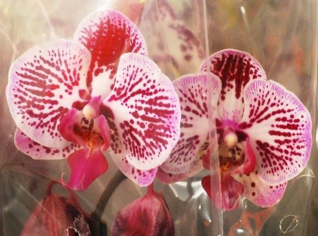 Festival de Flores de Holambra - Crédito: Divulgação